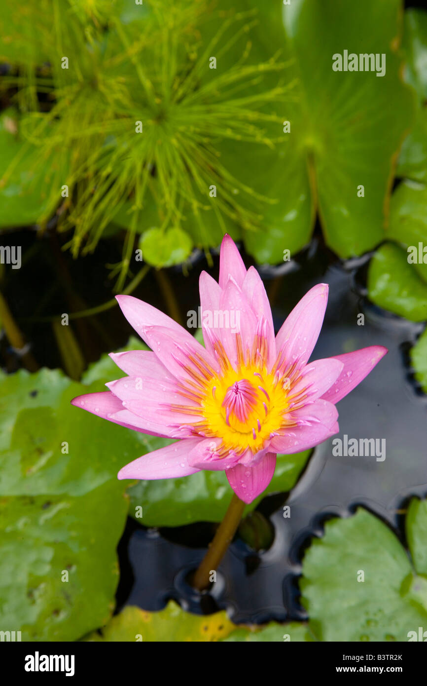 Martinique French Antilles West Indies Blue Water Lily Flower At
