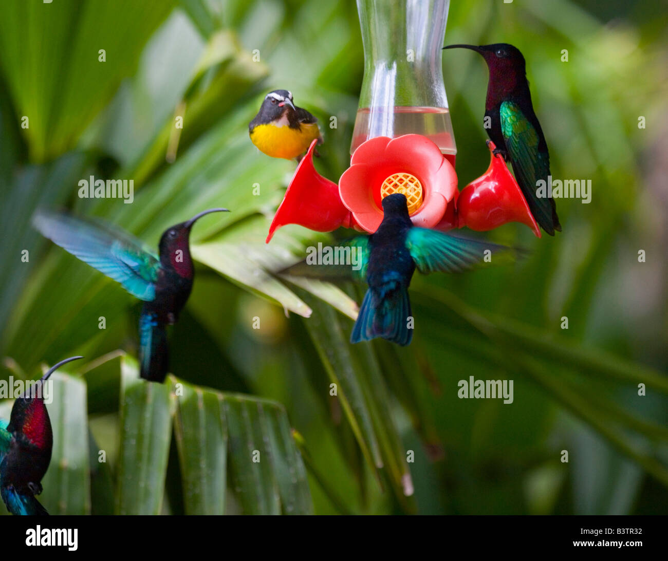 MARTINIQUE, French Antilles, West Indies, Purple-throated Carib hummingbirds  & bananaquit  at feeder. Jardin - Stock Image