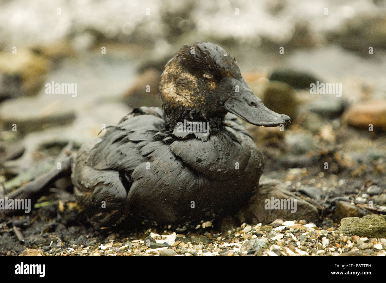 Oil-soaked seabird, possibly a Lesser Scaup, a victim of the Cosco Busan oilspill in San Francisco Bay, November - Stock Image