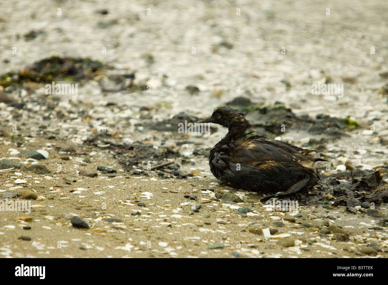 Oil-soaked eared grebe (Podiceps nigricollis), a victim of the Cosco Busan oil spill in San Francisco Bay, November - Stock Image