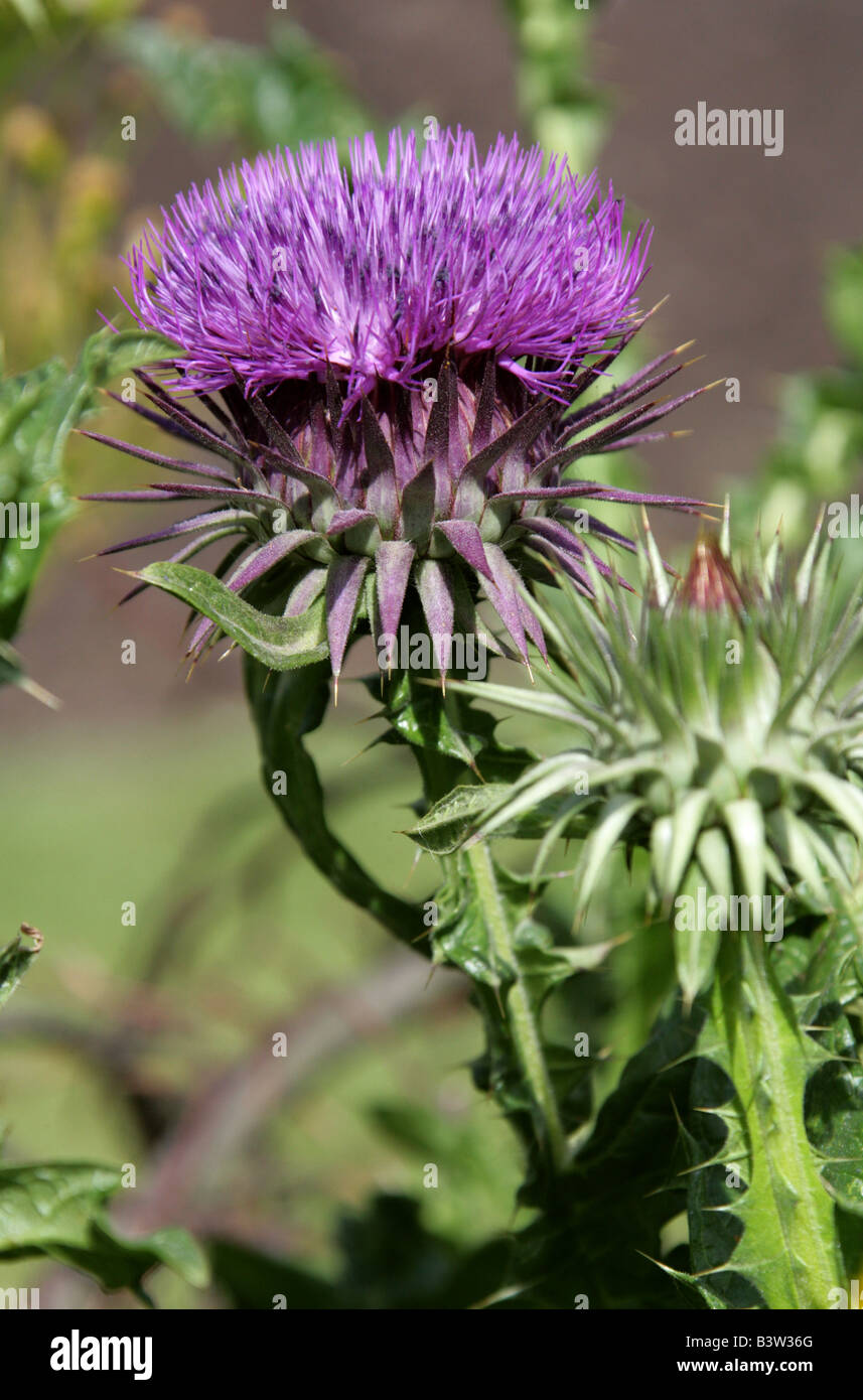 Thistle, Scolymus sp., Asteraceae - Stock Image