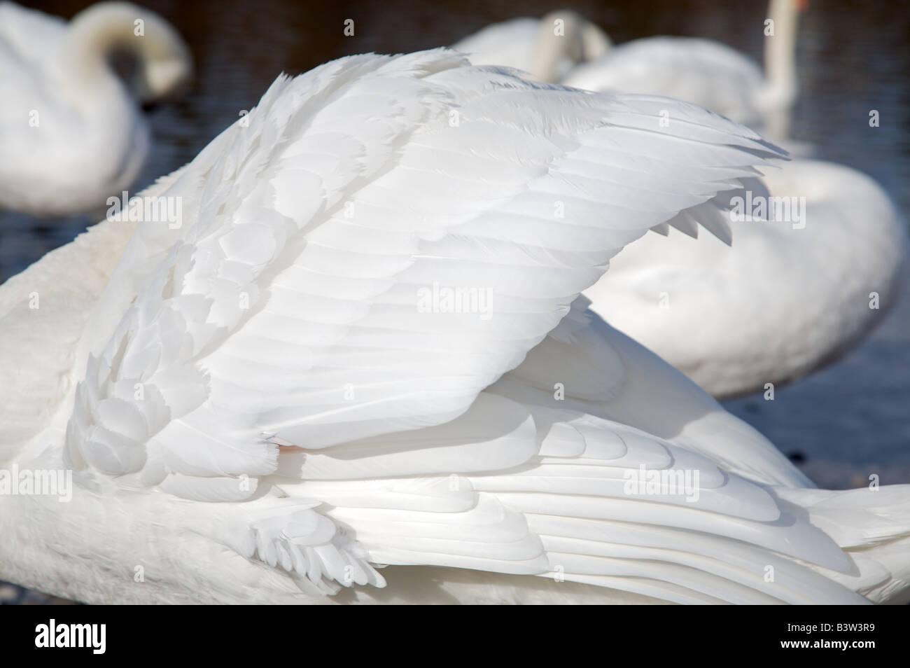 plumage of swan on river Isar Munich Bavaria Gefieder eines Schwans an der Isar  Cygnini München Bayern - Stock Image