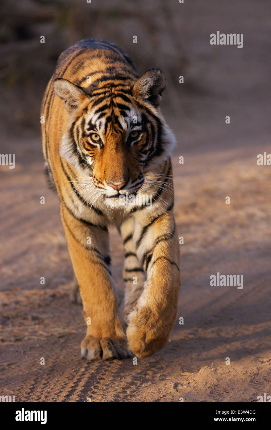 Majestic walk of a Royal Tiger in the morning,Ranthambore Tiger Reserve. (Panthera Tigris) Stock Photo