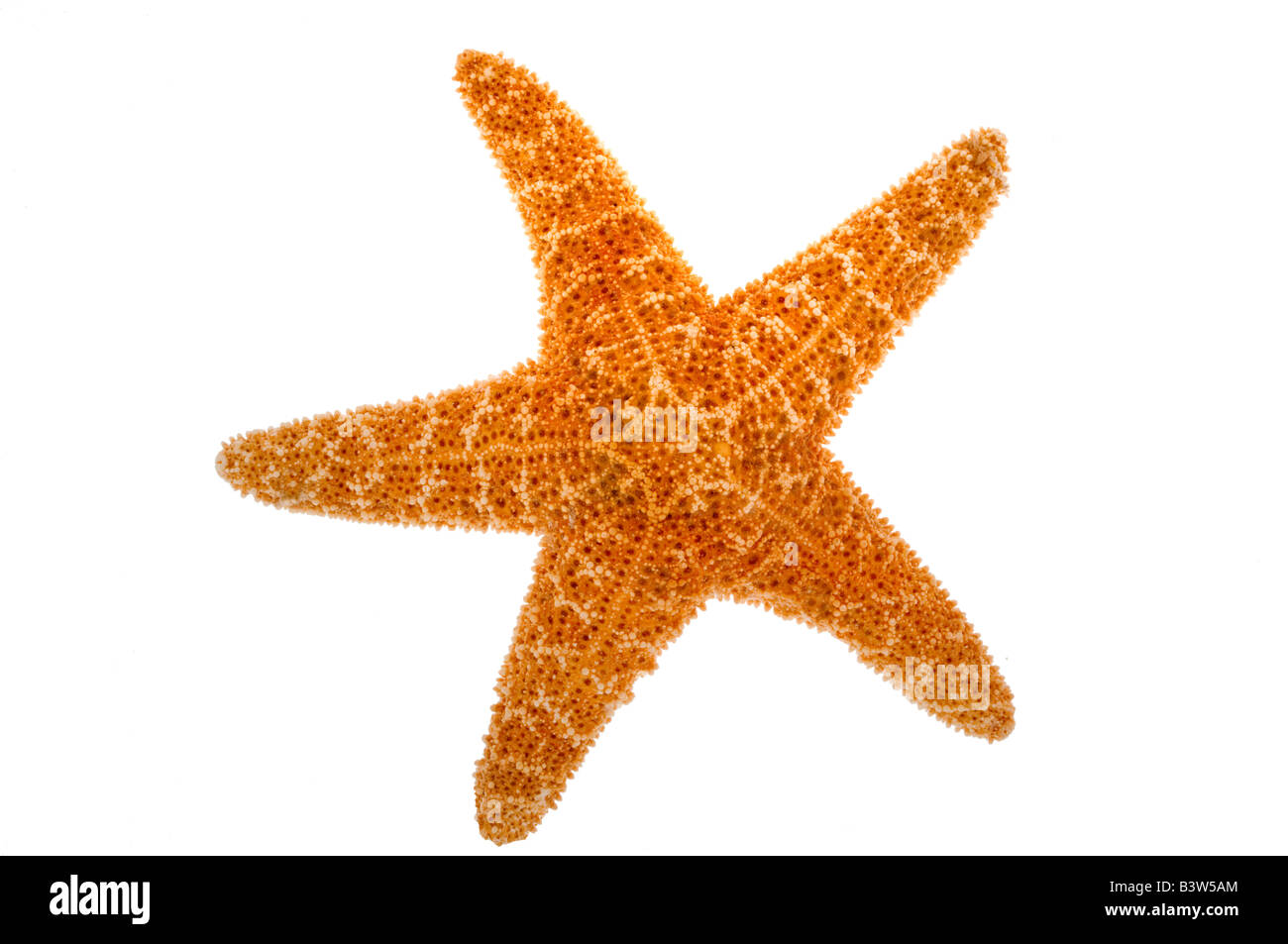 Starfish on white - Stock Image