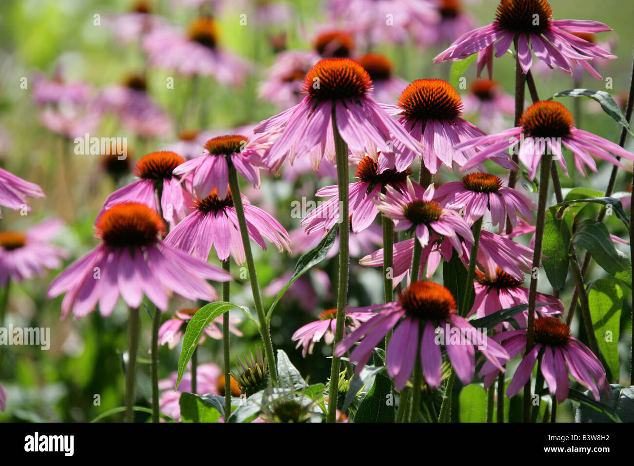 Purple Coneflower or Purple Echinacea, Rudbeckia purpurea, North America - Stock Image