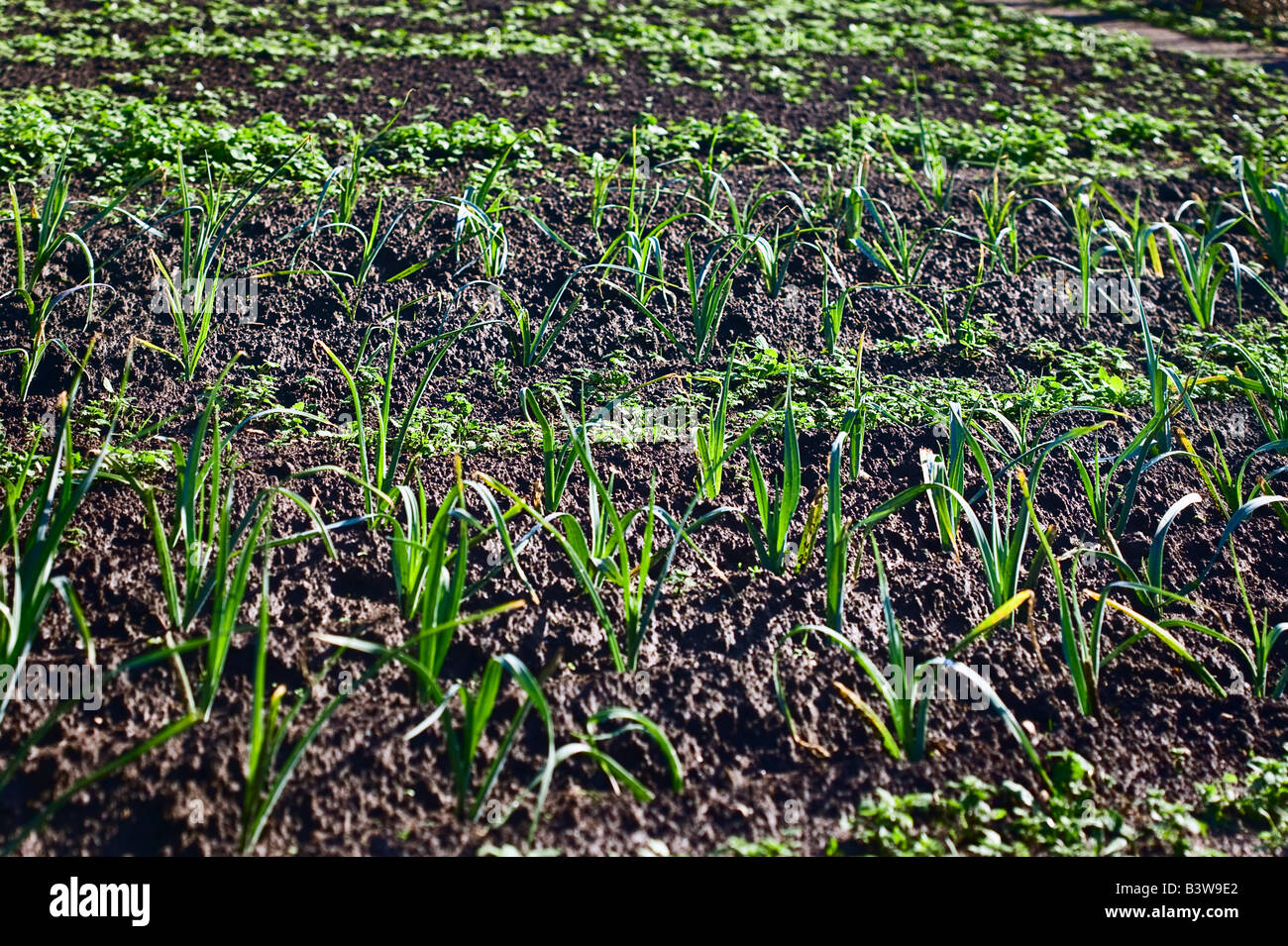 leek and salad plants in kitchen garden isle of Ouessant Brittany France - Stock Image