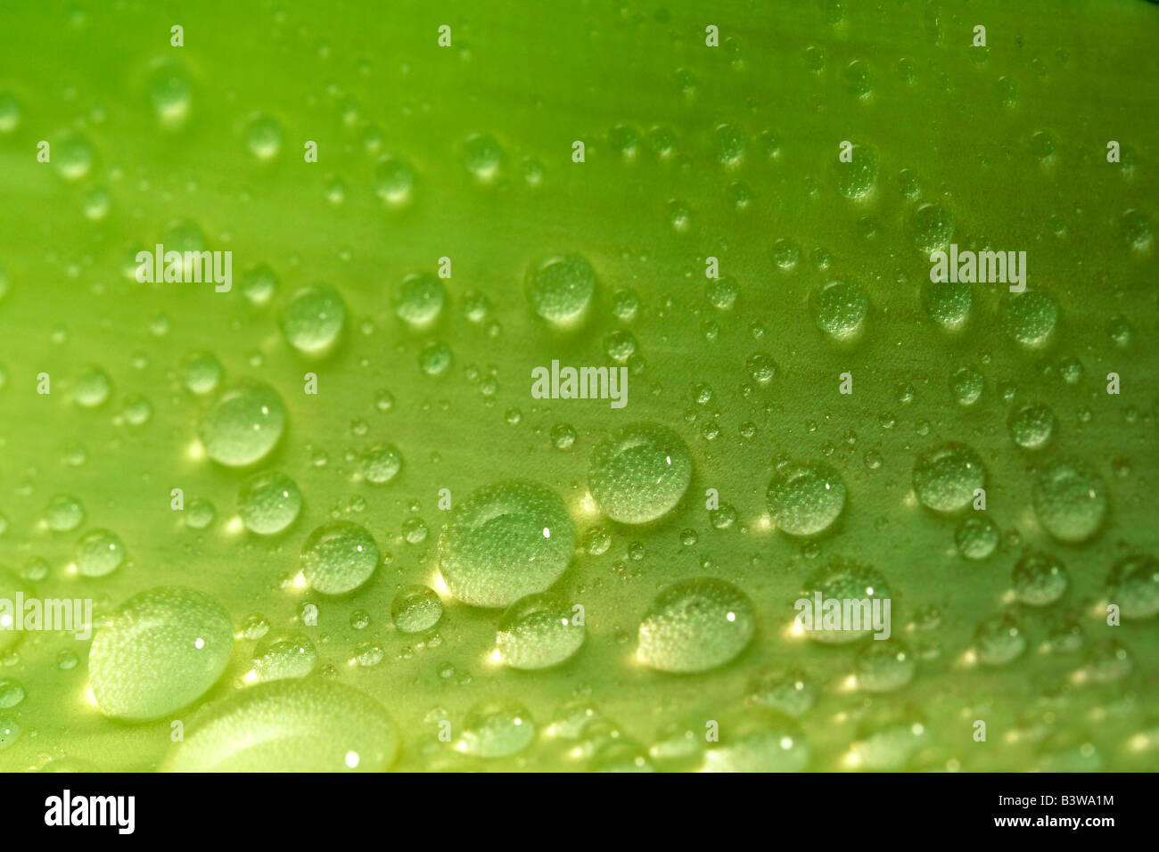 Water droplets on a leaf - Stock Image