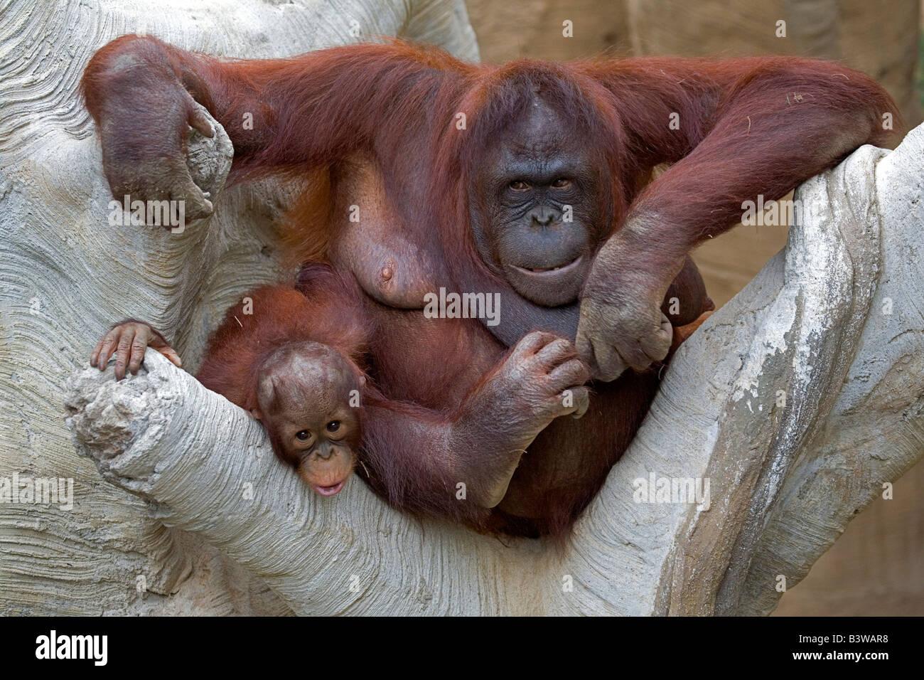 Nursing orangutan and baby portrait Stock Photo