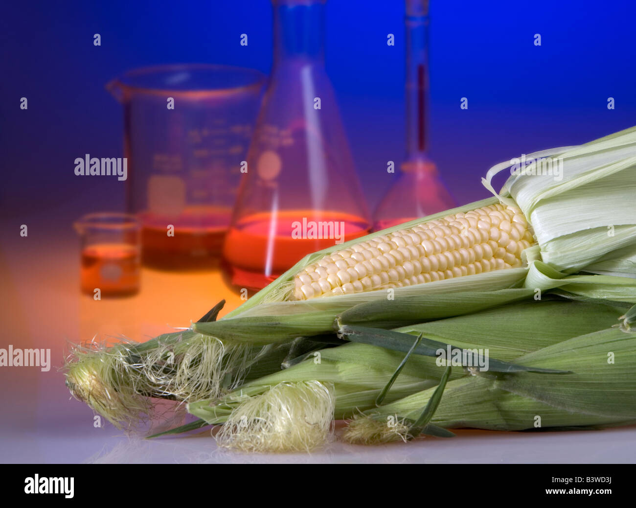 Concept shot of genetically modified corn showing beakers and flasks. Genetically modified foods are resistant to - Stock Image