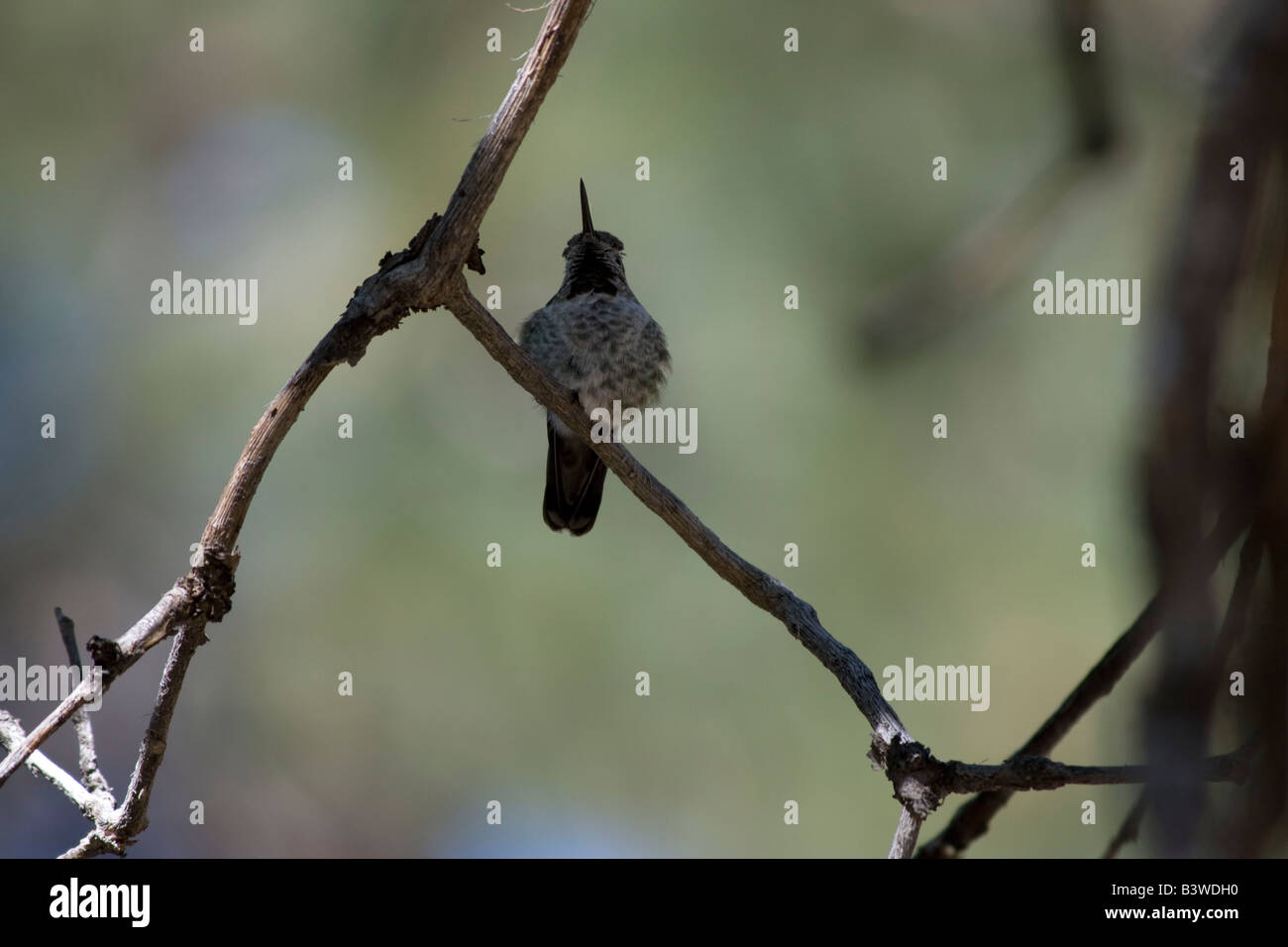 A female humming bird rest on a limb waiting for the male to leave the feeder - Stock Image