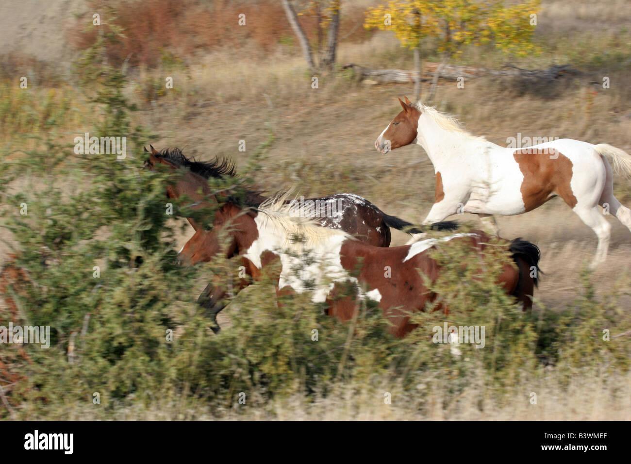 Indian ponies running on the prairie of South Dakota - Stock Image