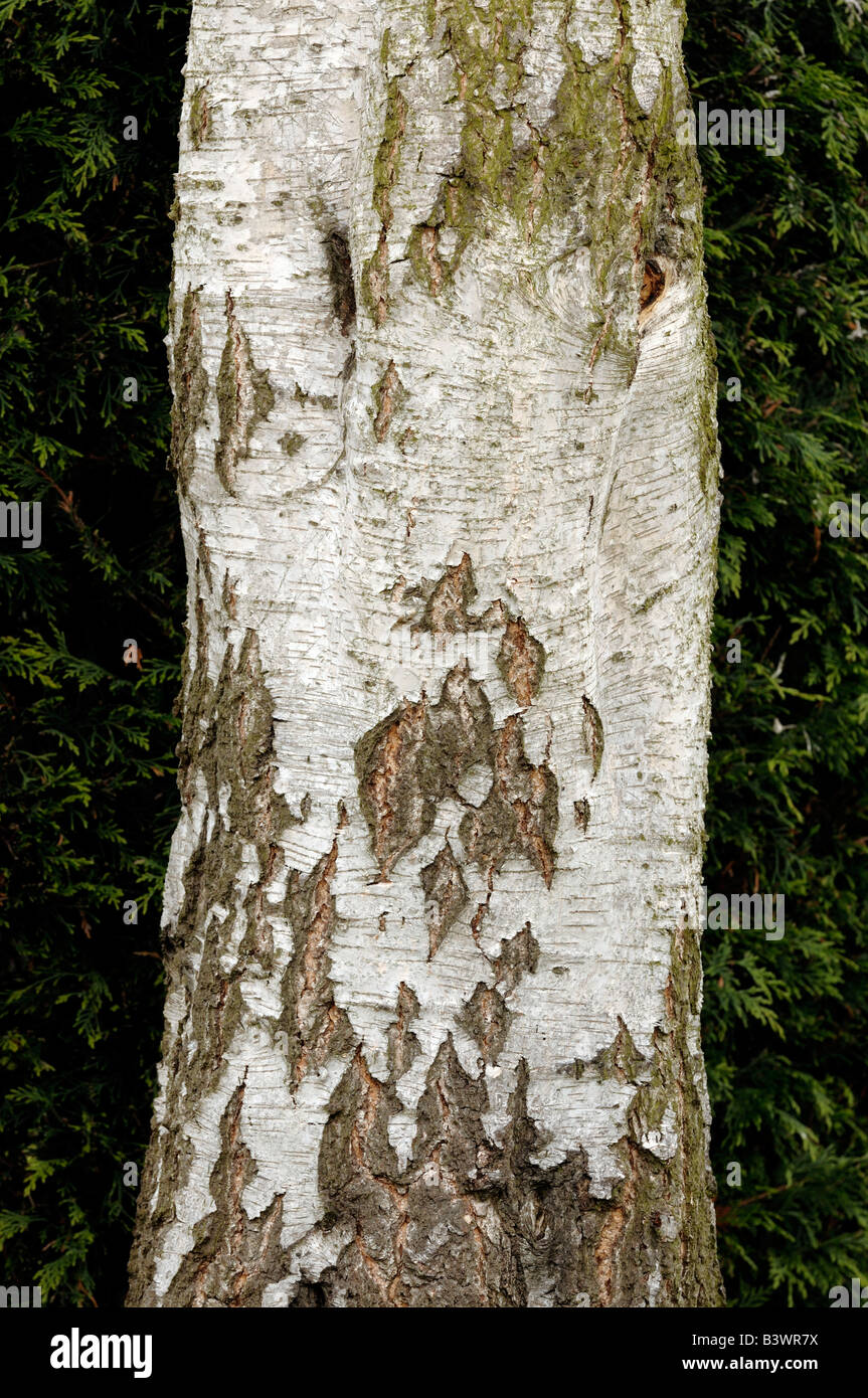Silver Birch tree trunk - Stock Image