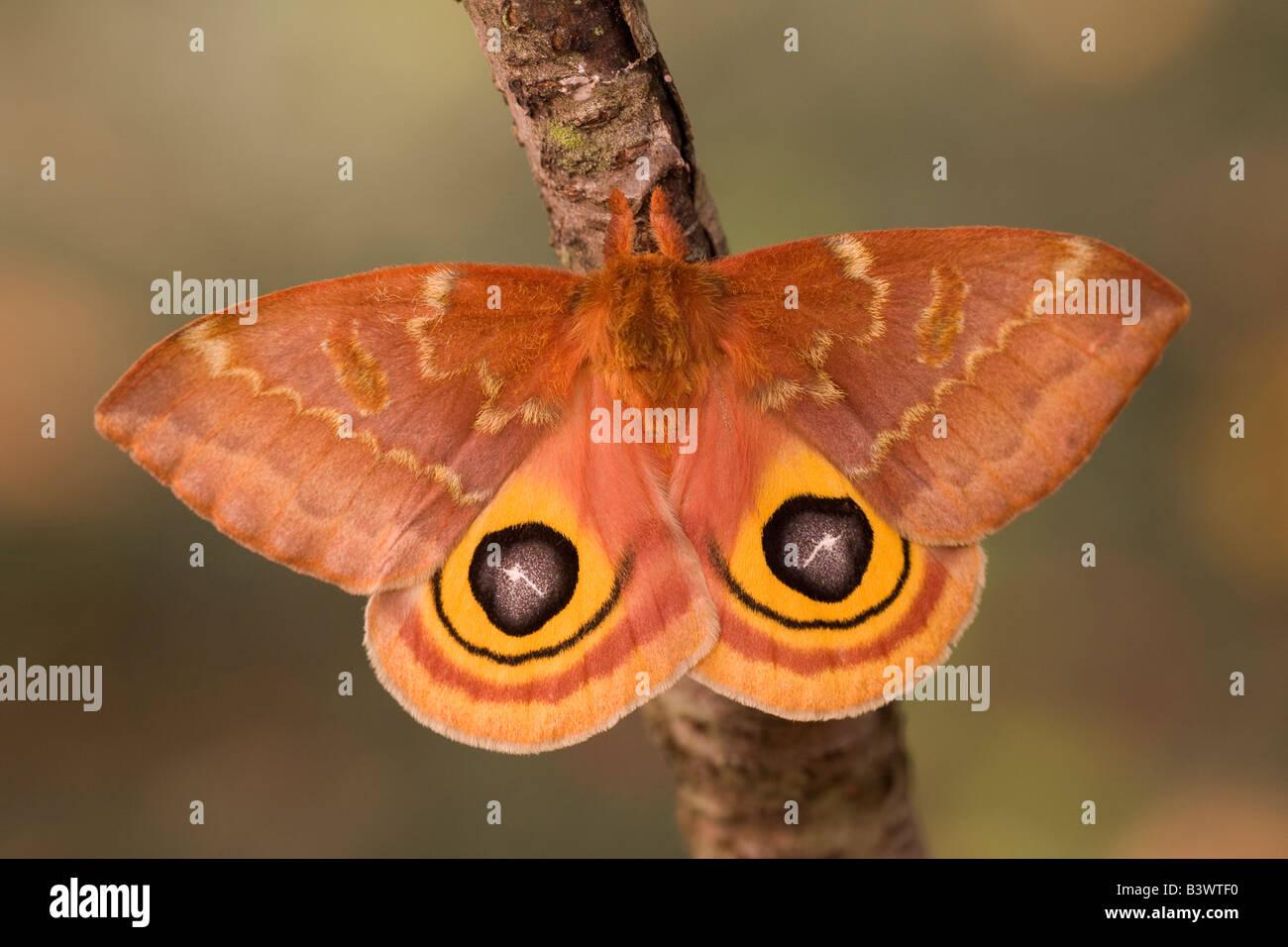 Io moth (Automeris io) on a branch - Stock Image