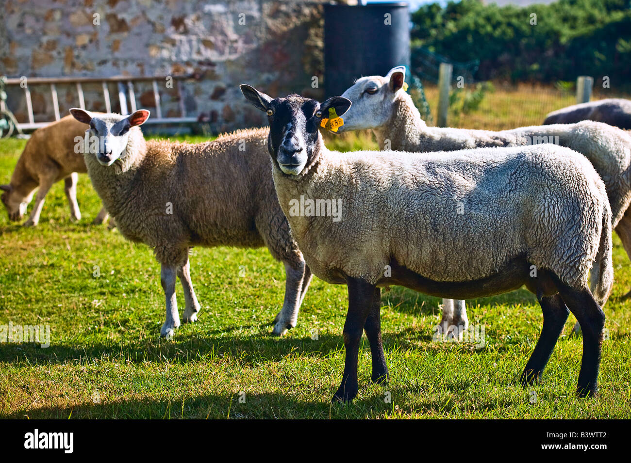 group of sheep posing isle of Ouessant Brittany France - Stock Image