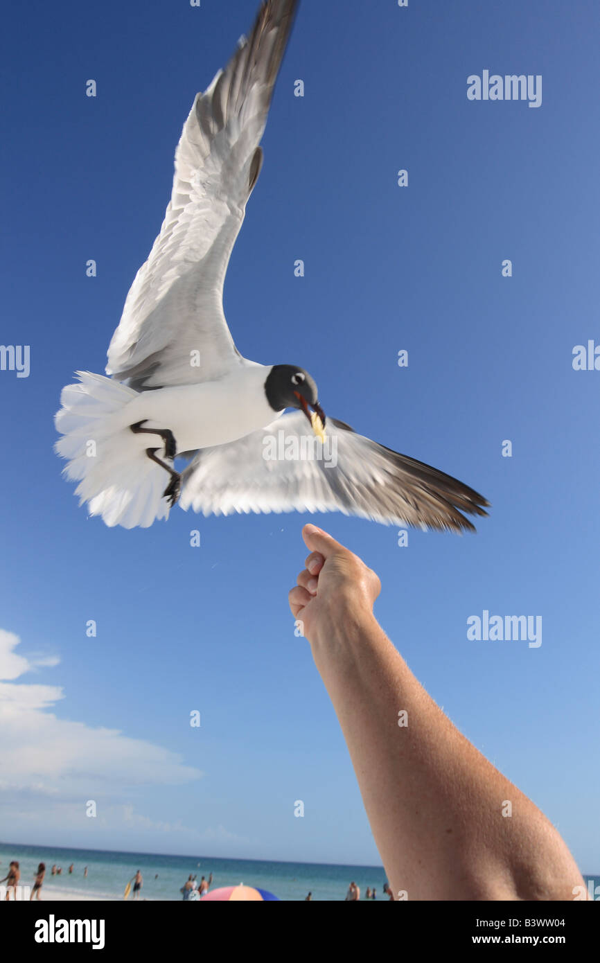 Person's hand feeding a Laughing gull (Larus atricilla) - Stock Image