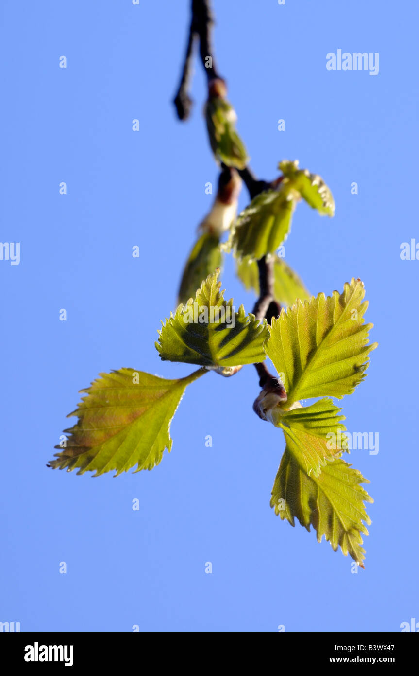 Silver birch leaves in spring - Stock Image