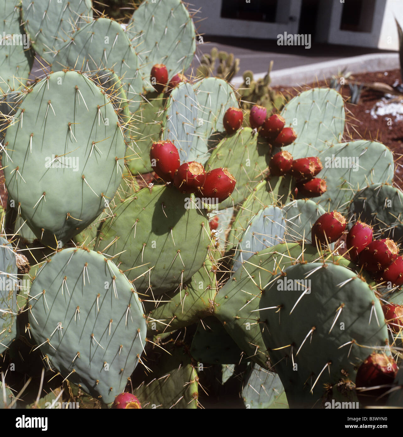 prickly pear / Opuntia robusta Stock Photo