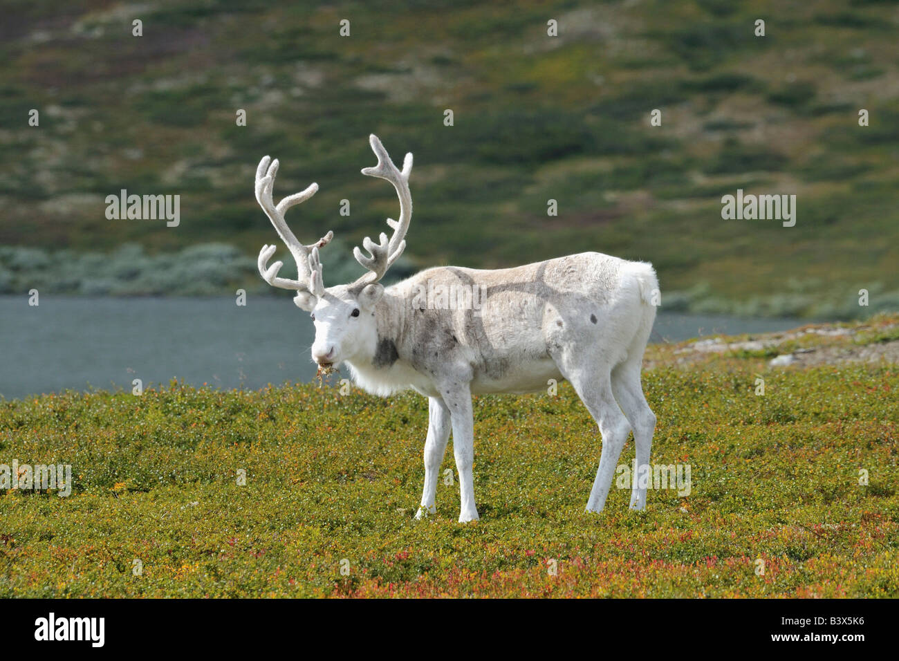 Reindeer (Rangifer tarandus), Dalarna, Sweden - Stock Image