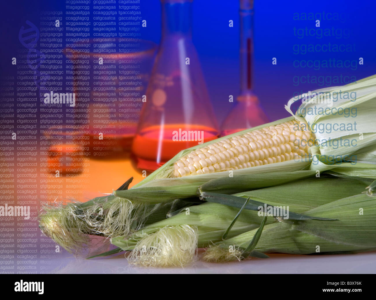Concept shot of genetically modified corn showing beakers and DNA sequence codes and a helix. - Stock Image