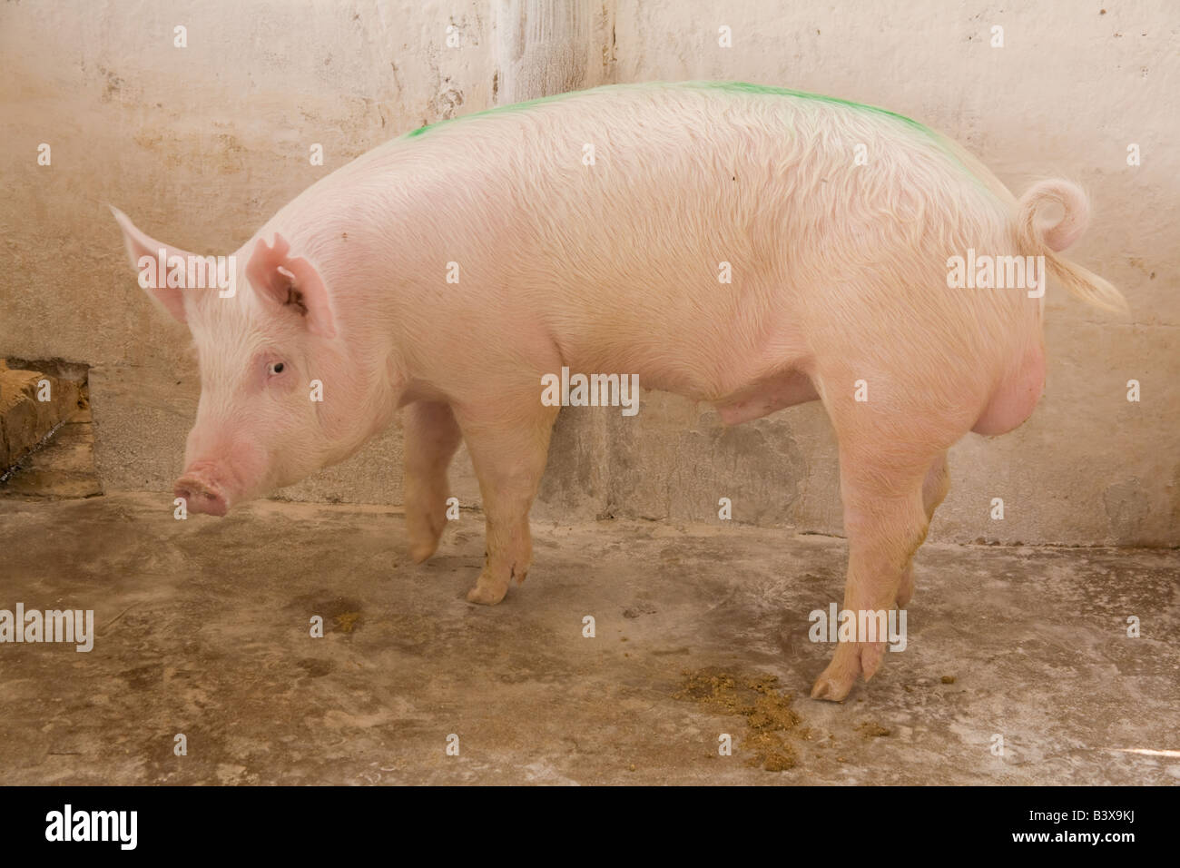 Breeding boar on a pig farm in Kafuie Lusaka Zambia Africa - Stock Image