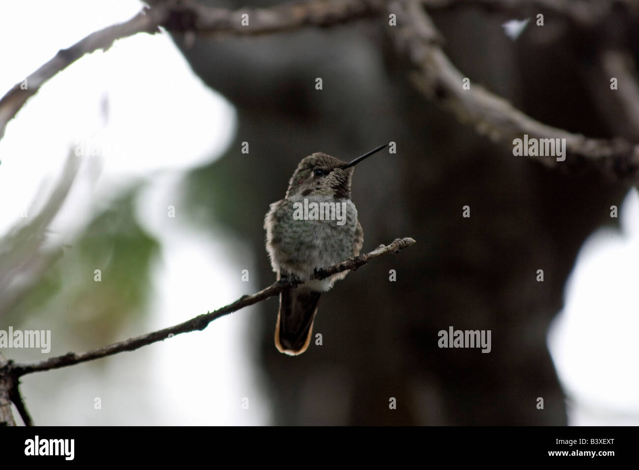 A female humming bird sits an waits on two other males to leave the feeder - Stock Image