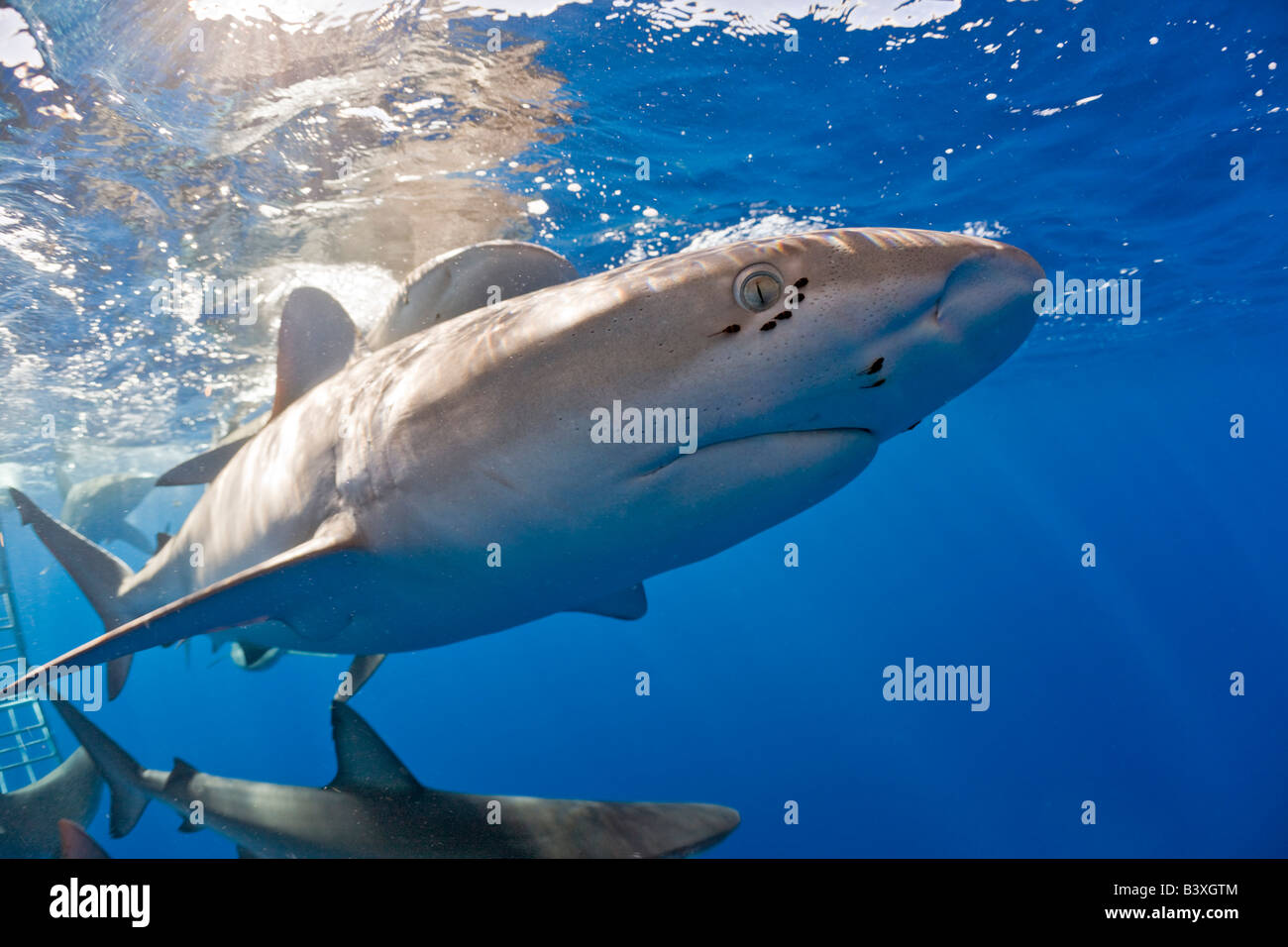 Galapagos Sharks Carcharhinus galapagensis Oahu Pacific Ocean Hawaii USA - Stock Image