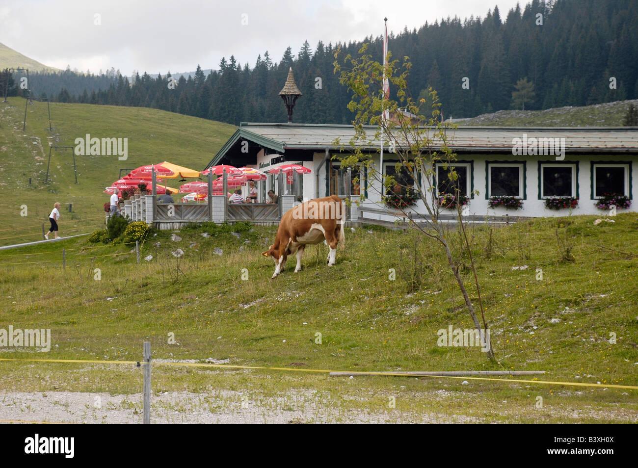 Austria Upper Austria Salzburg St Gilgen in the Dachstein Mountains A rural view of a grazing cow - Stock Image
