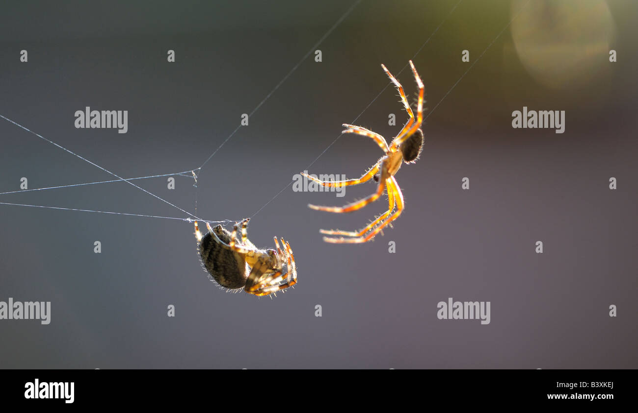 Spiders Mating Stock Photos & Spiders Mating Stock Images - Alamy