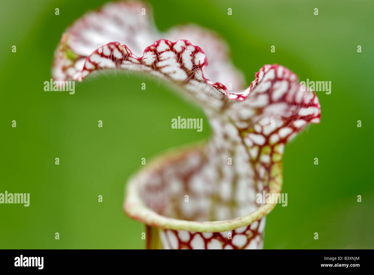 Pitcher plant close up Hughes Water Gardens Oregon - Stock Image