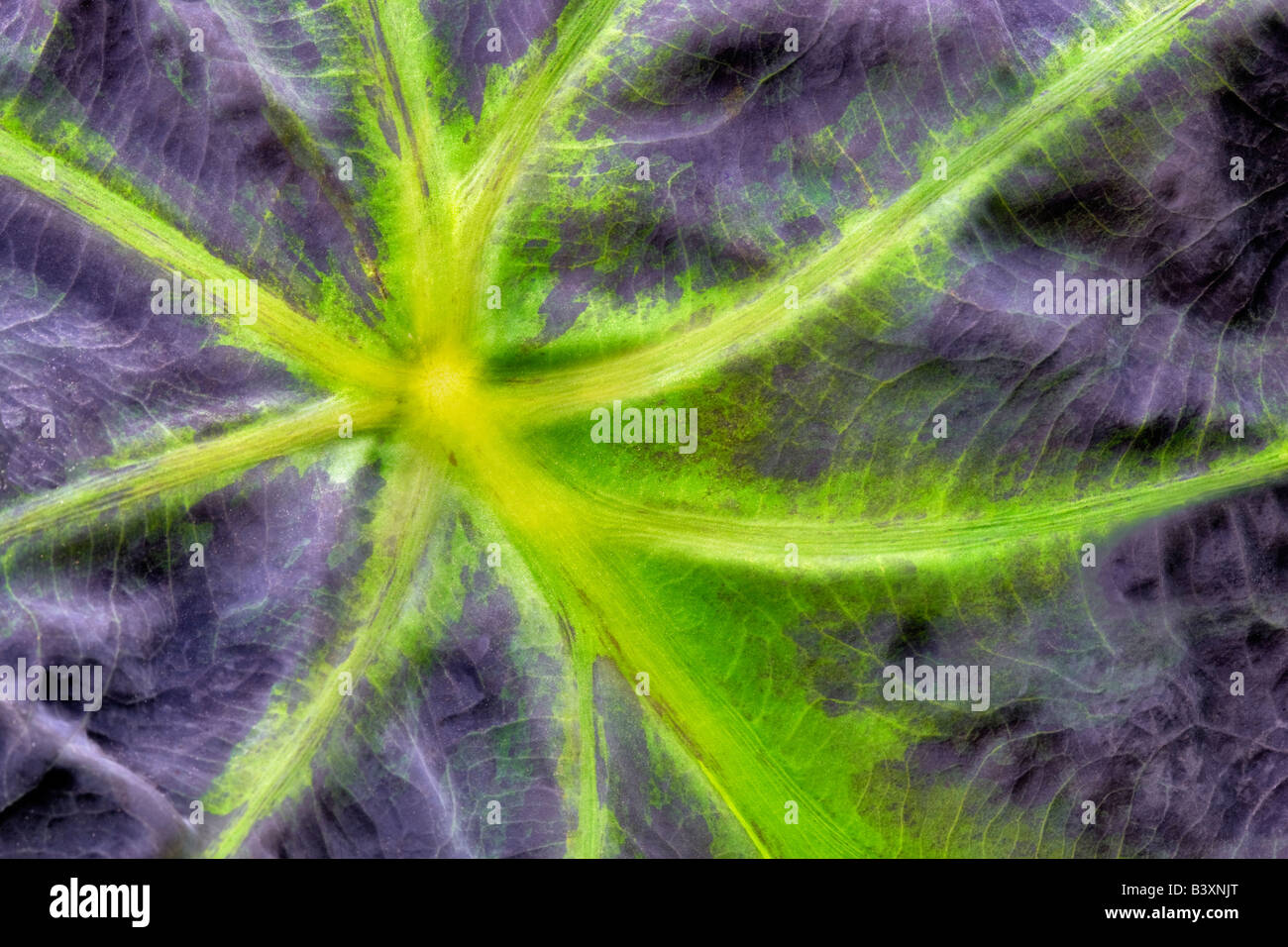 Close up of leaf veins of Taro plant Hugfhes Water Gardens Oregon - Stock Image