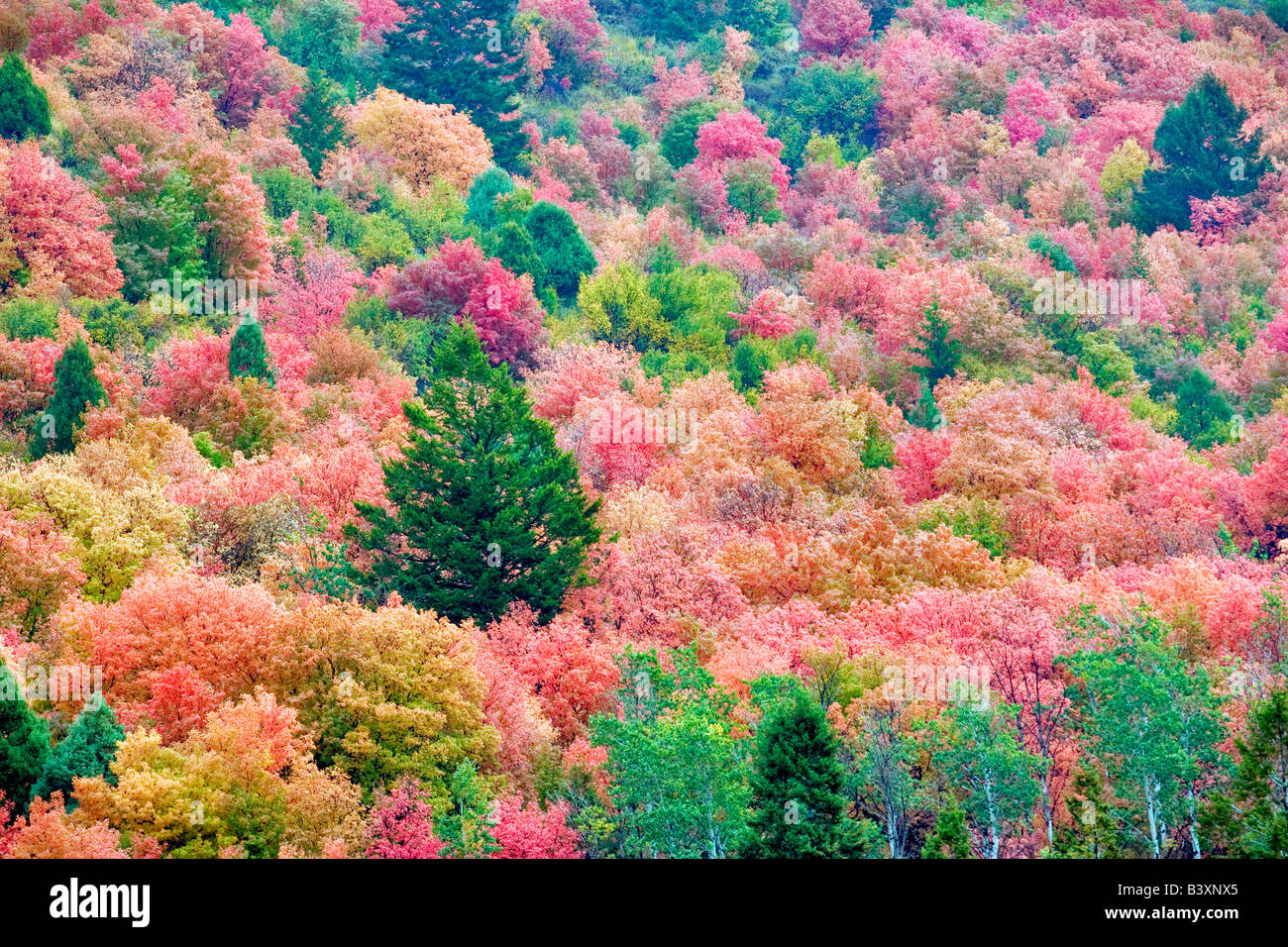 Mixed Varieties Of Maple Trees In Fall Color Targhee National Forest