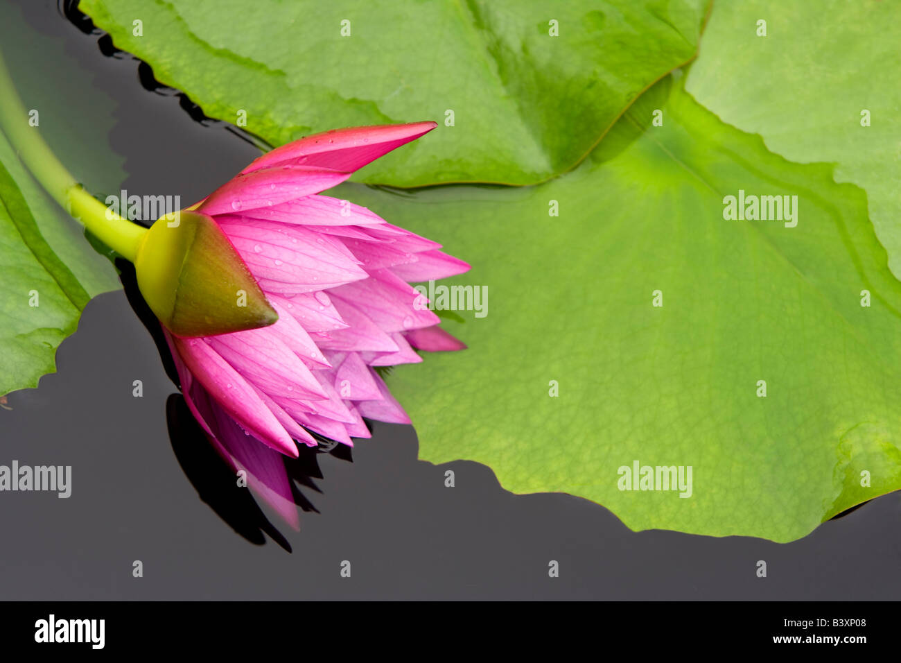 Tropical lily bloom Hughes Water Gardens Oregon - Stock Image
