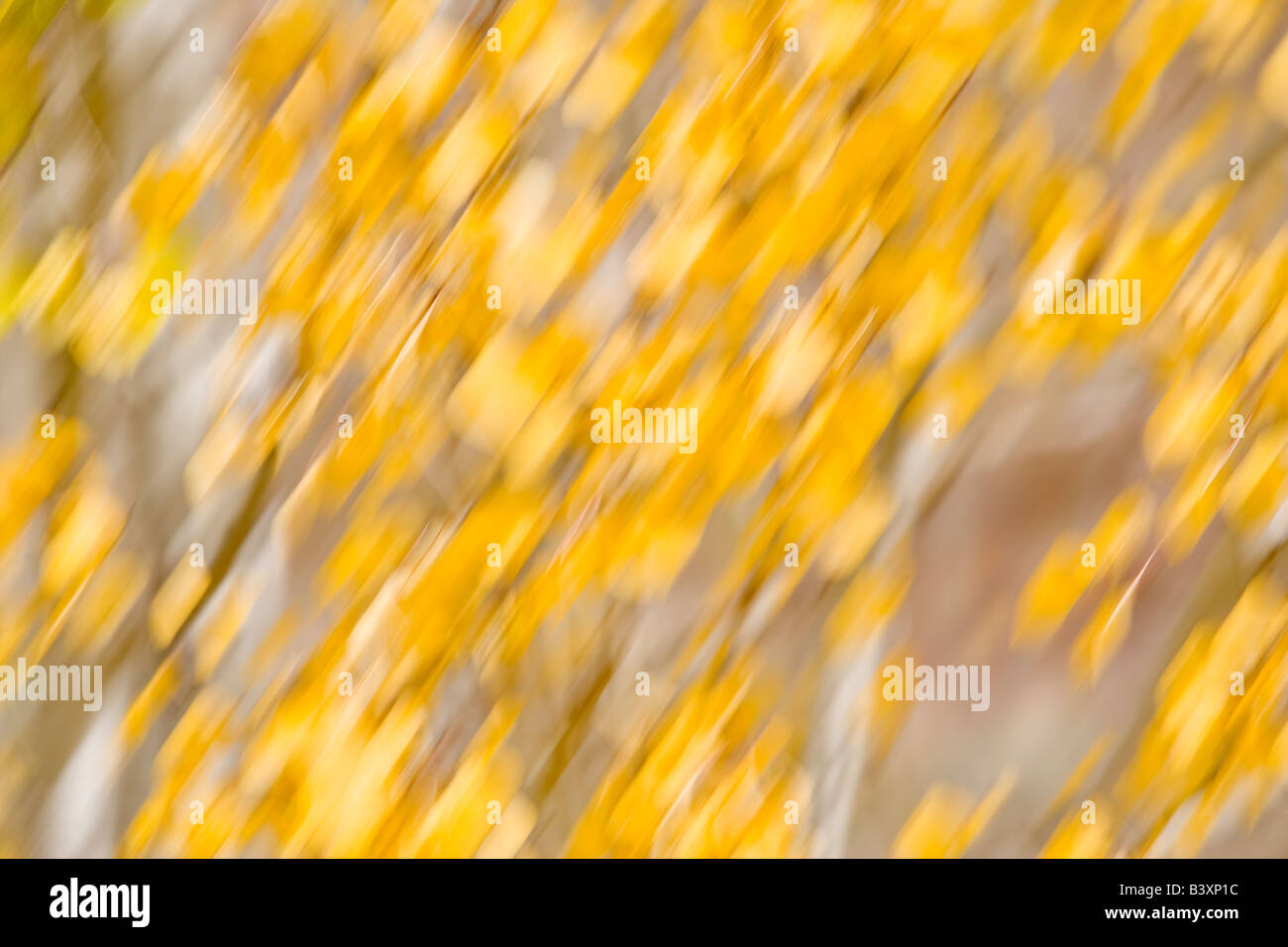 Aspen leaf abstract of leaves blowing in the wind - Stock Image