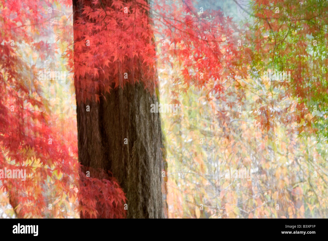 Fall colored japanese maples Crystal Springs Rhododendron Gardens Portland Oregon - Stock Image