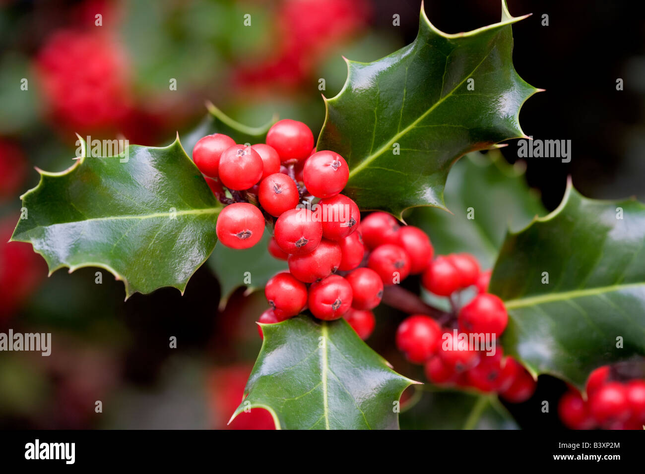 Holly berries and leaves Paradise California - Stock Image