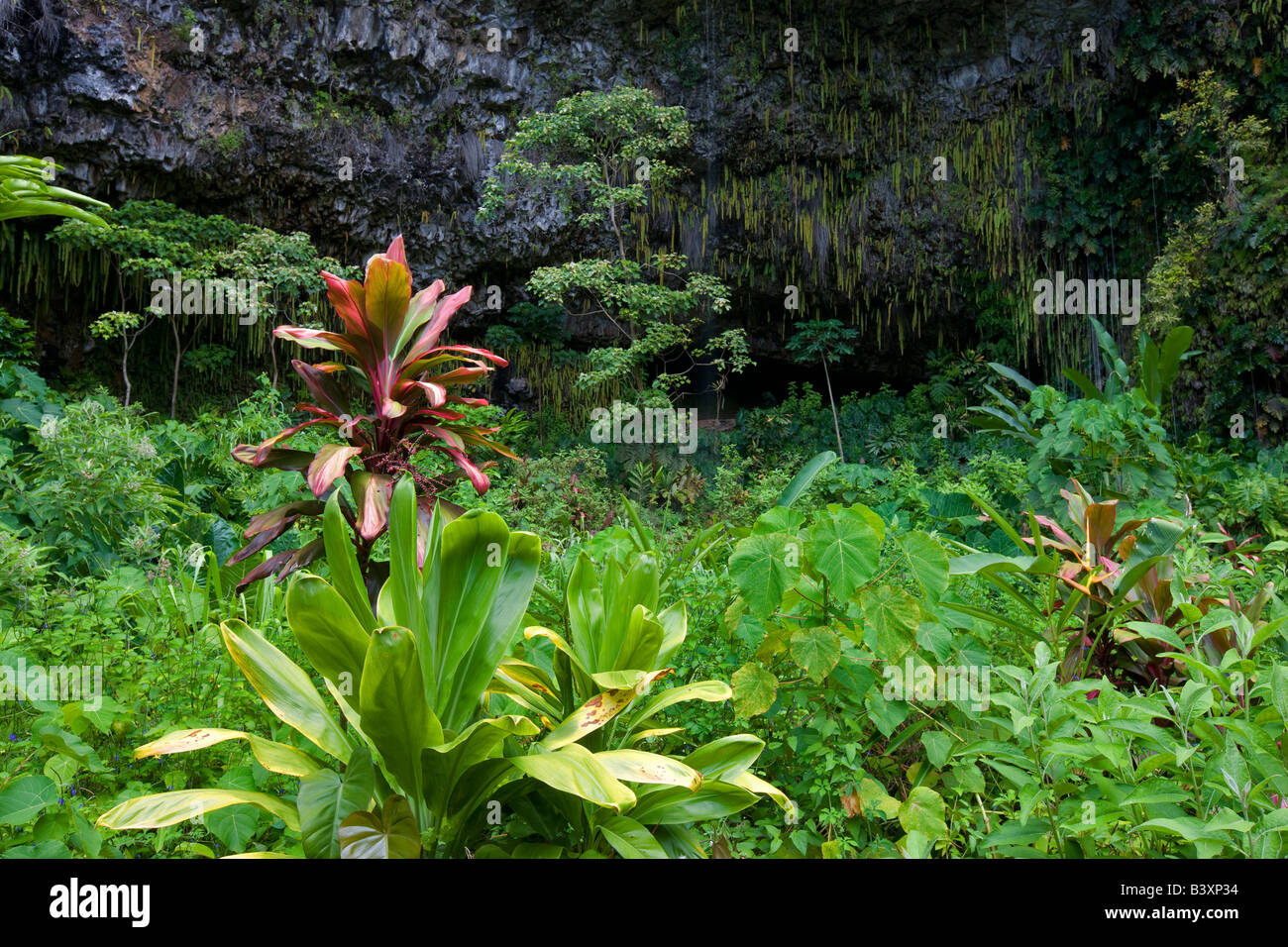 Ferns in Fern Grotto Kauai Hawaii - Stock Image