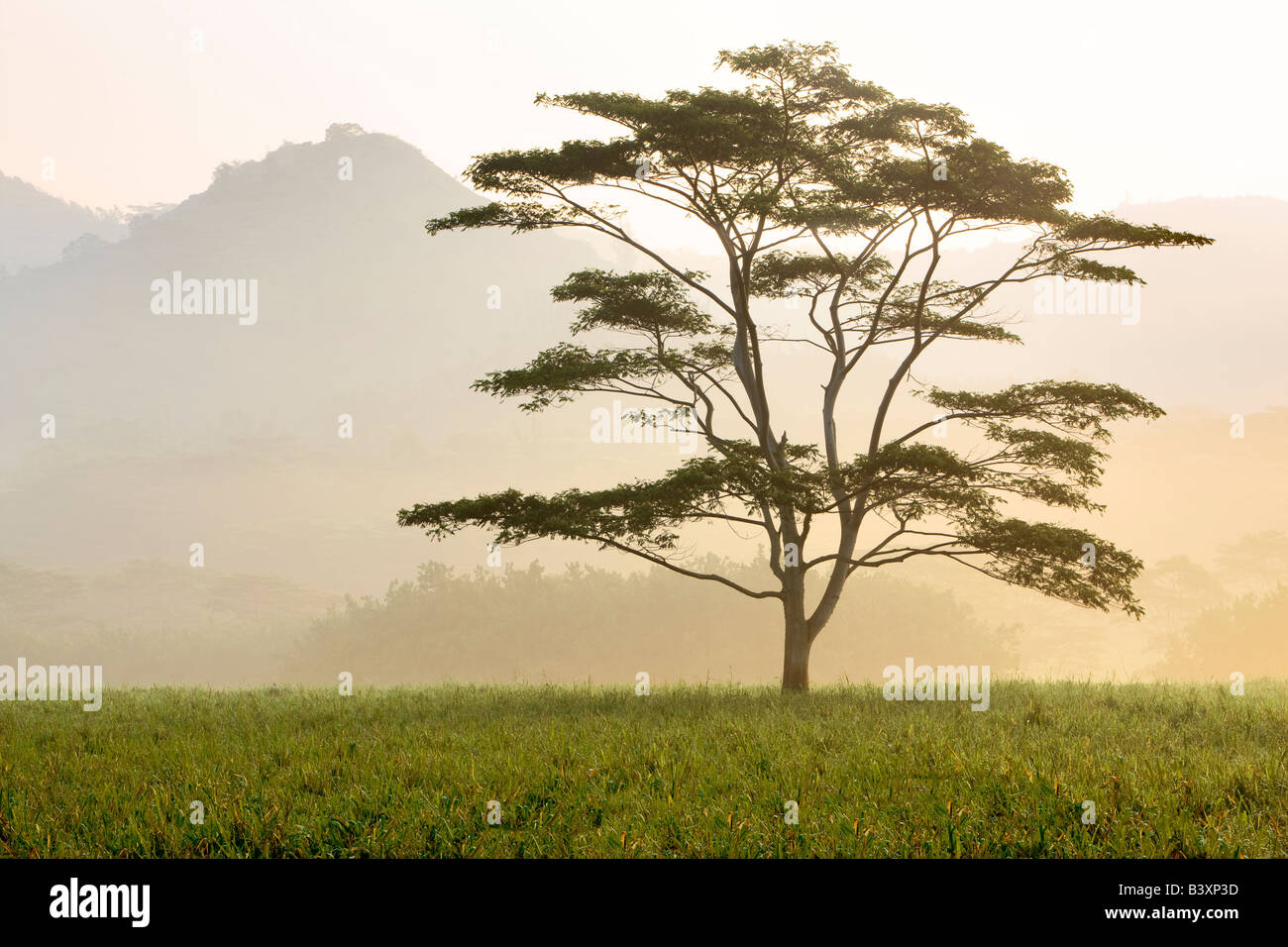 Lone tree in morning fog Kauai Hawaii - Stock Image