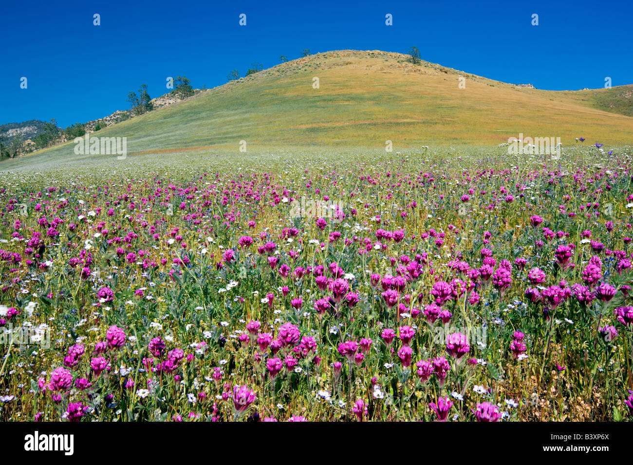 Mostly Purple Owls Clover Castilleja exserta Sequoia National Forest Kern County California - Stock Image