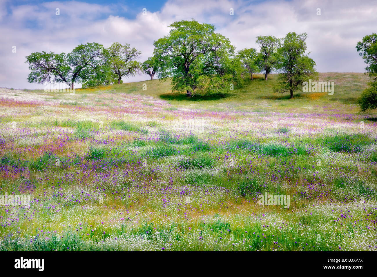 Mixture of wildflowers with oak trees Kern County California - Stock Image