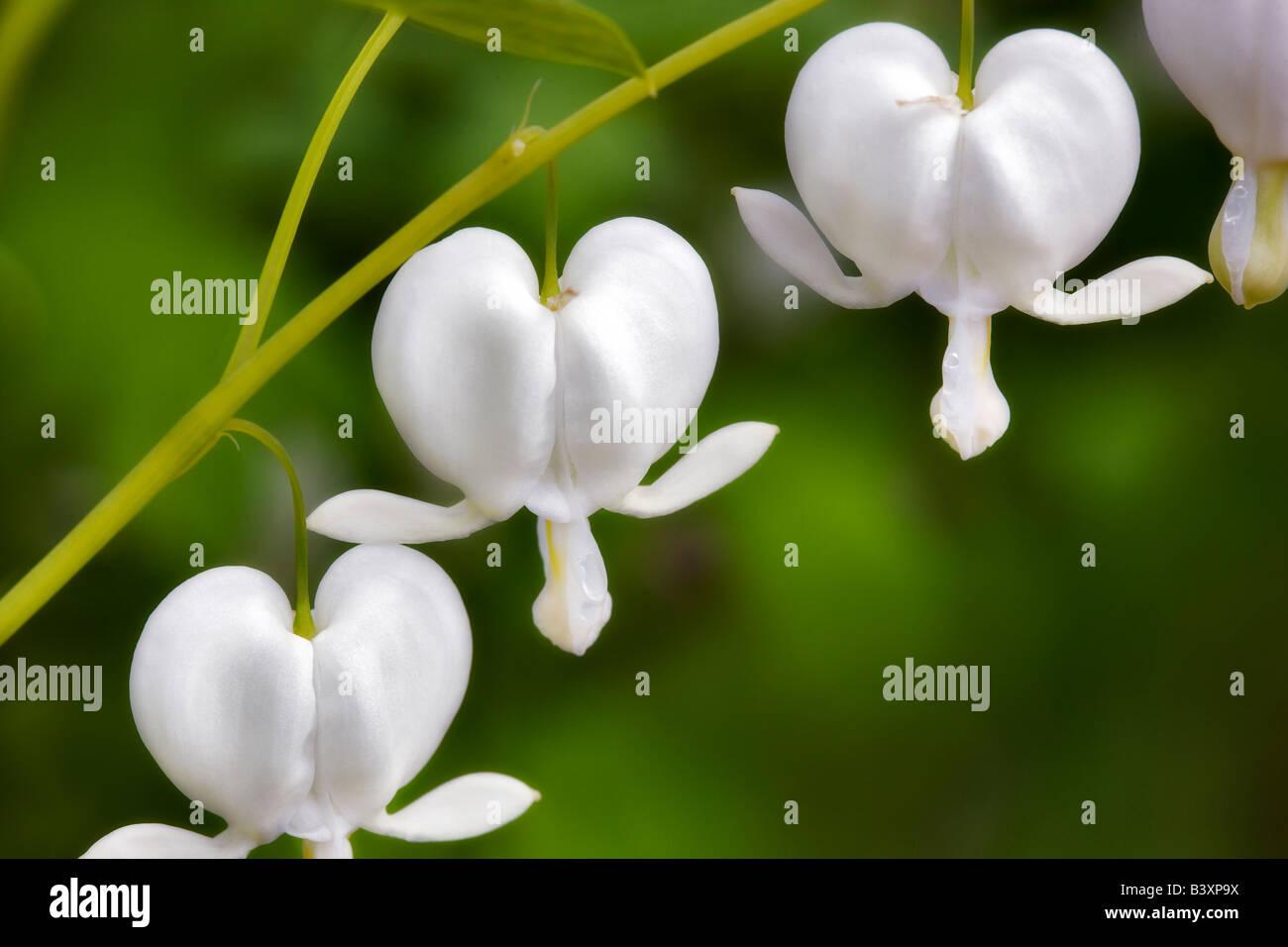 White Bleeding Heart Dicentra spectabilis Alba - Stock Image