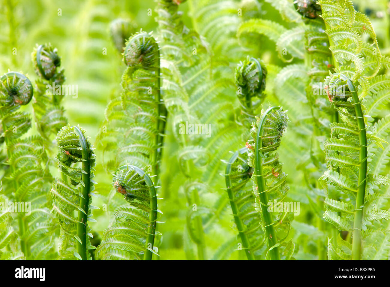 Spring ferns Cherry Blossoms Hulda Klager Lilac Gardens Woodland Washington - Stock Image