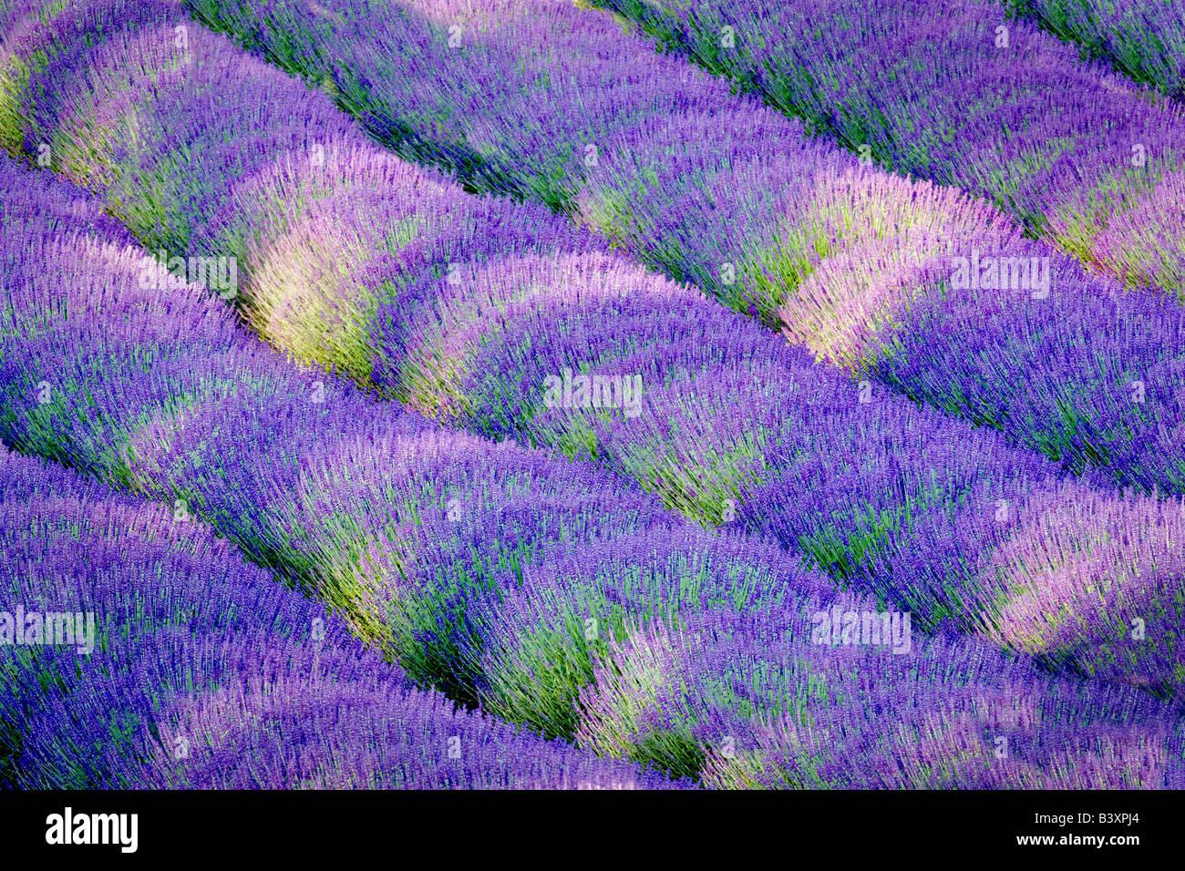 Rows of lavendar Purple Haze Lavender Farm Washington - Stock Image