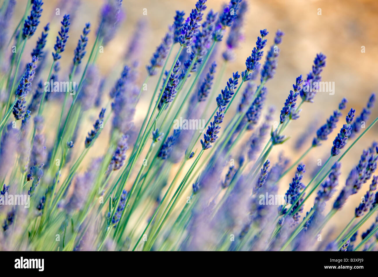 Close up of lavender plant Washington - Stock Image
