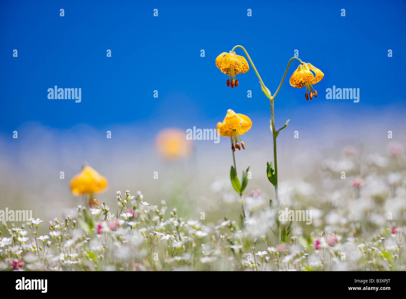 Tiger or Columbian lily lilium columbianum Hurricane Ridge Olympic National Park Washington - Stock Image