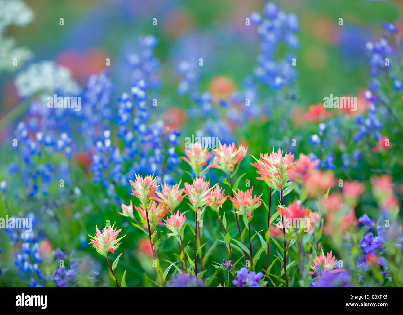 Mixed wildflowers Mostly lupine paintbrush Hurricane Ridge Olympic National Park Washington - Stock Image