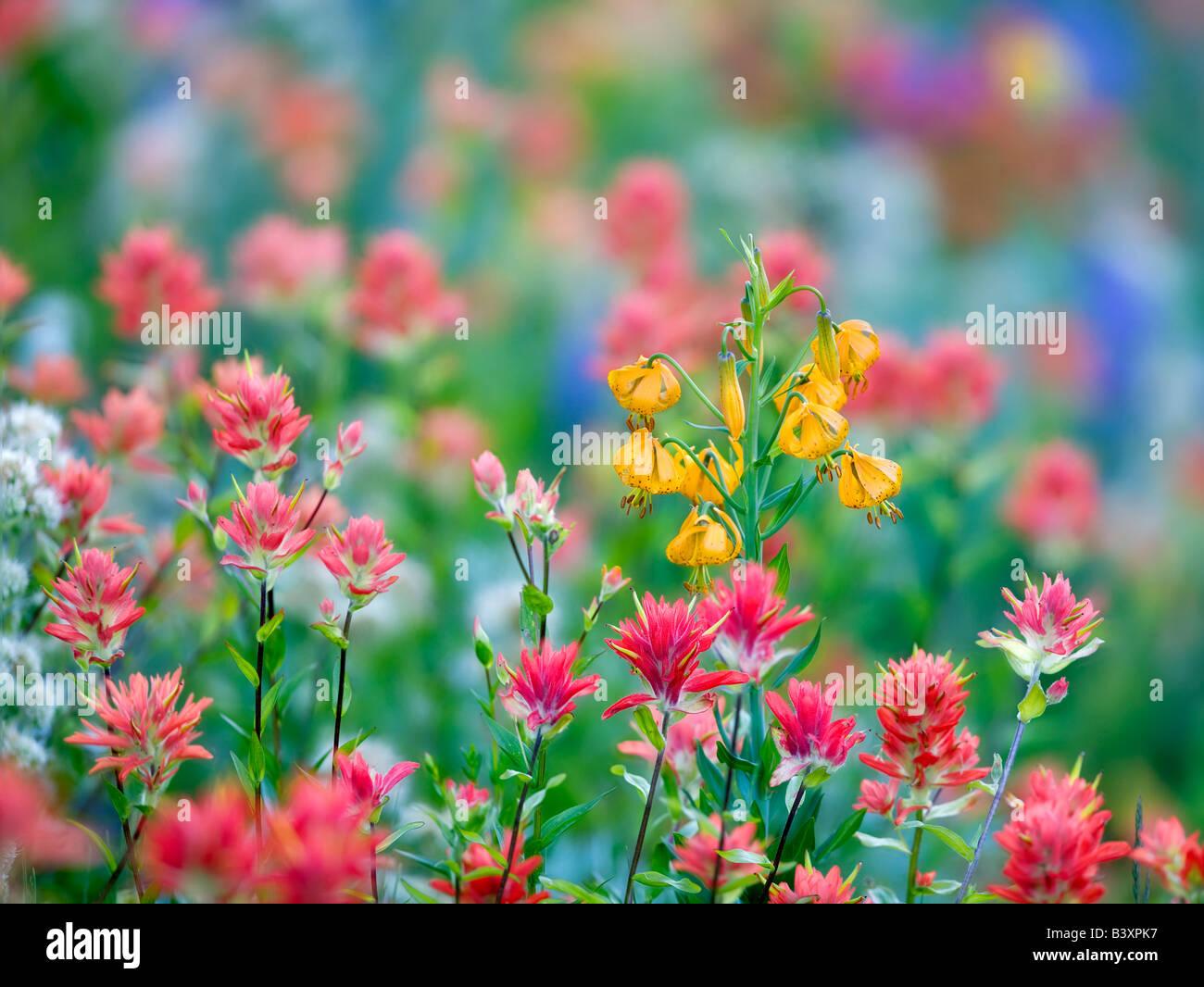 Mixed wildflowers Mostly lupine paintbrush and tiger lily Hurricane Ridge Olympic National Park Washington - Stock Image