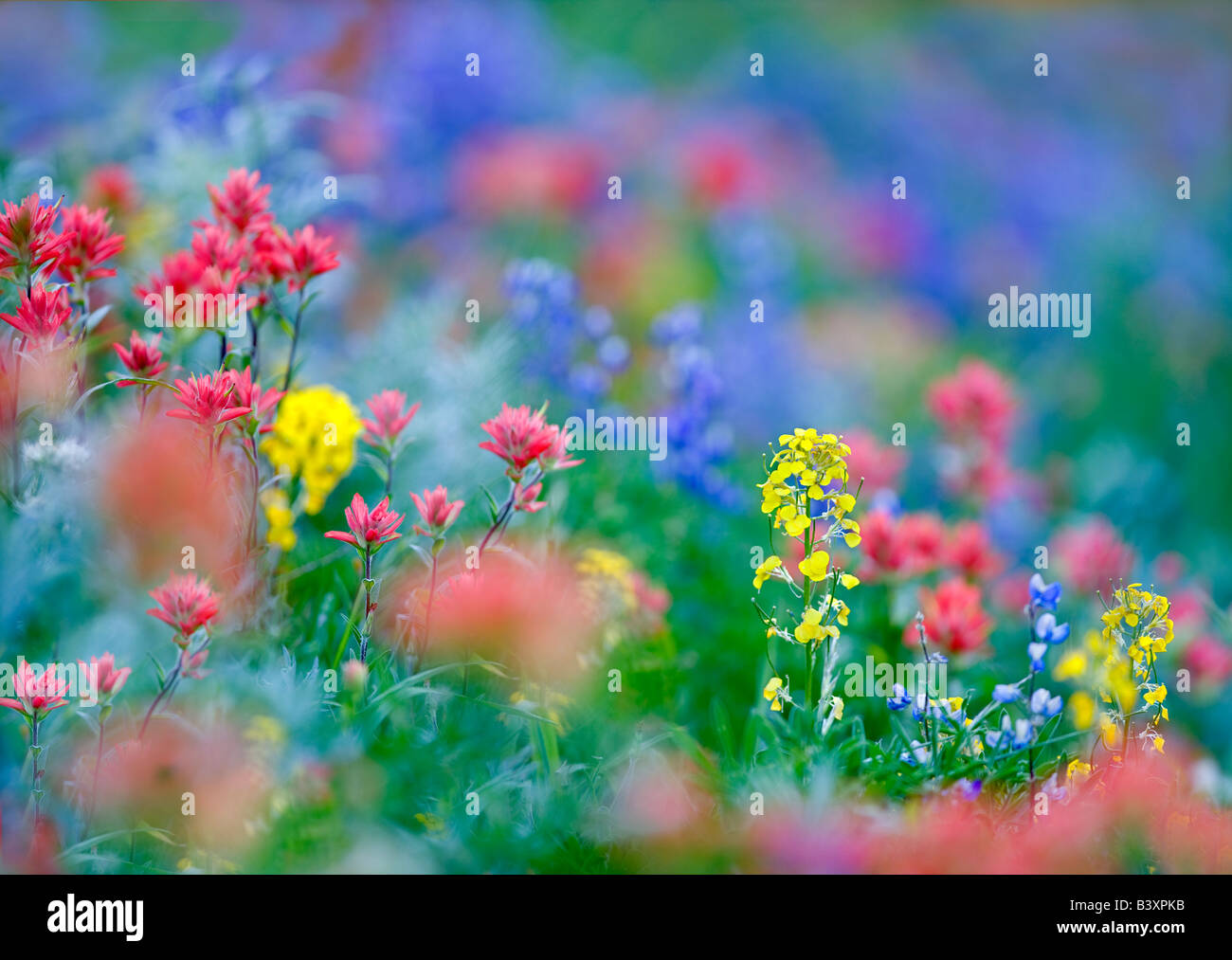 Mixed wildflowers Mostly lupine paintbrush and Wall Flower Hurricane Ridge Olympic National Park Washington - Stock Image