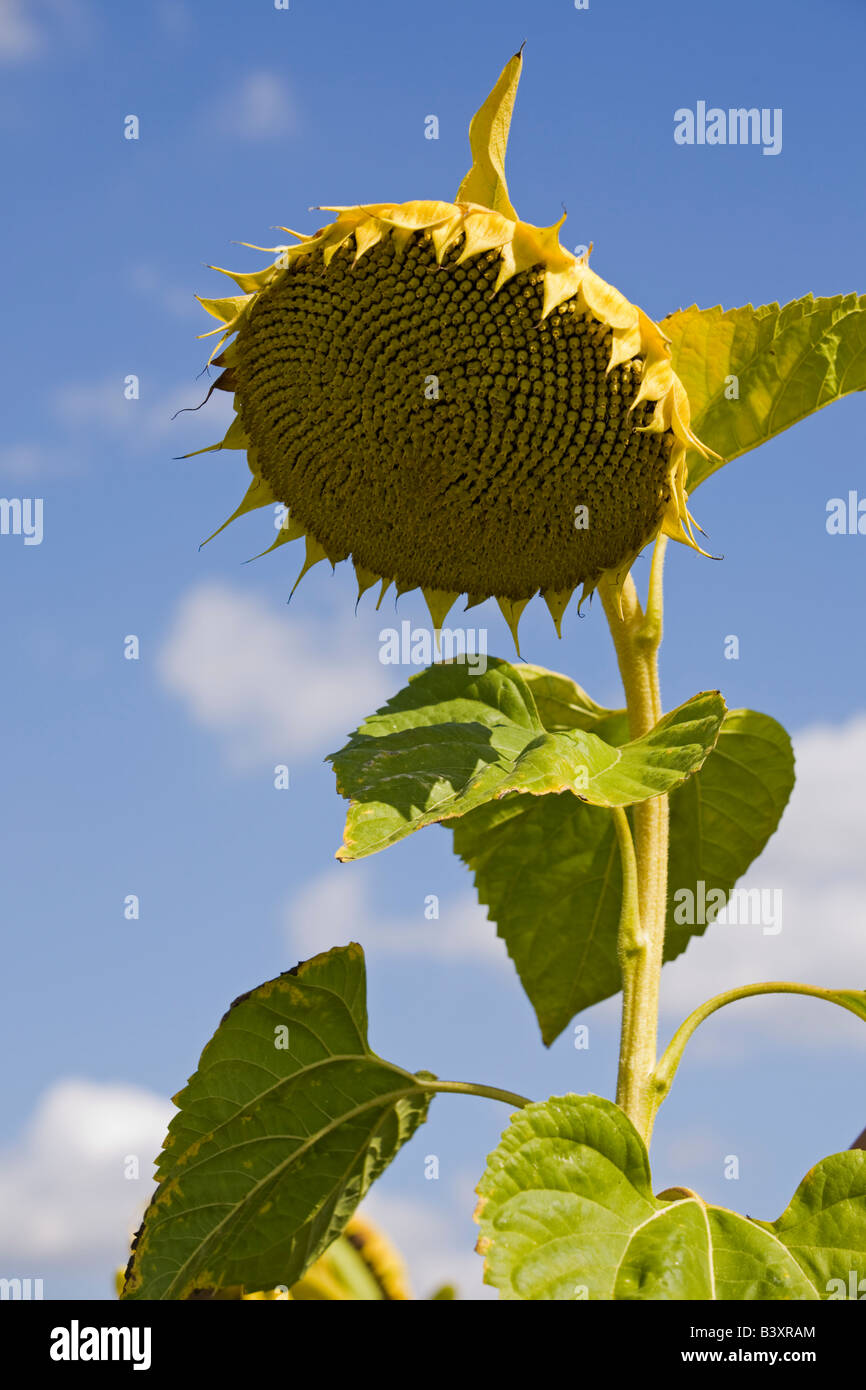 A flower of sunflower (Helianthus annuus) having become ripe. Fleur de tournesol (Helianthus annuus) arrivée - Stock Image