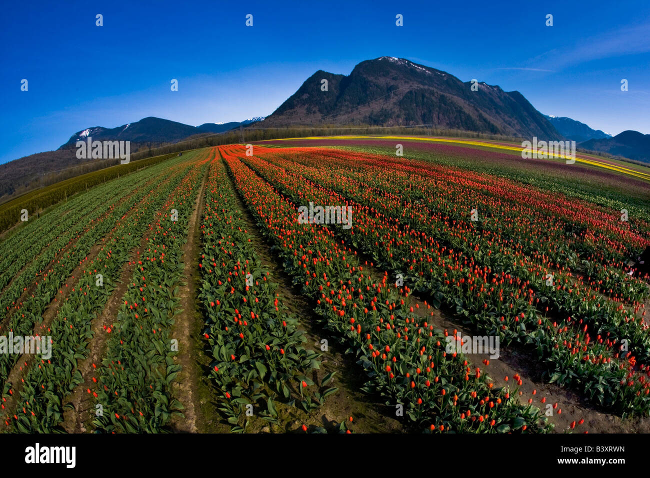 Tulip cultivation, British Columbia, Canada - Stock Image