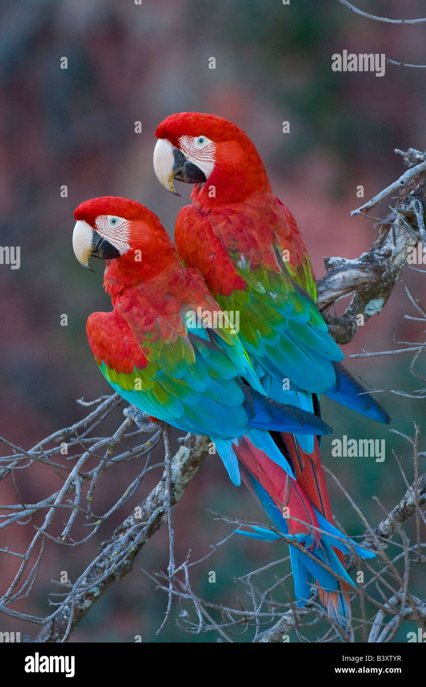 Wild non captive non habituated Red and Green Macaws in a sink hole in Mato Grosso do Sul Brazil - Stock Image